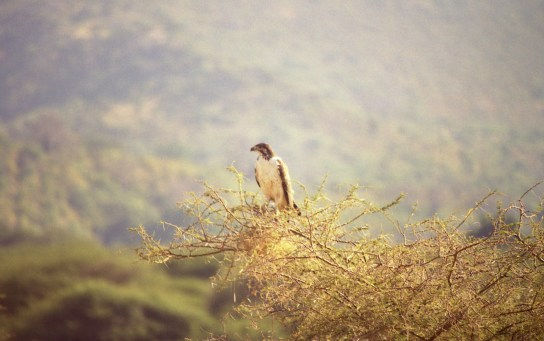 An Africa Hawk Eagle stood on a high tree looking for prey.