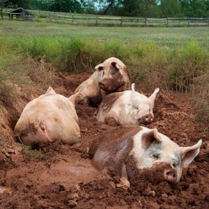 Yorkshire_pigs_at_animal_sanctuary