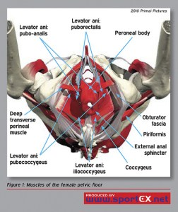 pelvic-floor-muscles