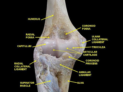 By Anatomist90 (Own work) [CC BY-SA 3.0 (http://creativecommons.org/licenses/by-sa/3.0)], via Wikimedia Commons