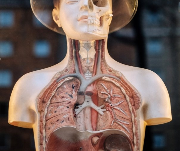 Human Anatomical Terms With Interesting Origins