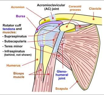Anatomy of the Shoulder Complex