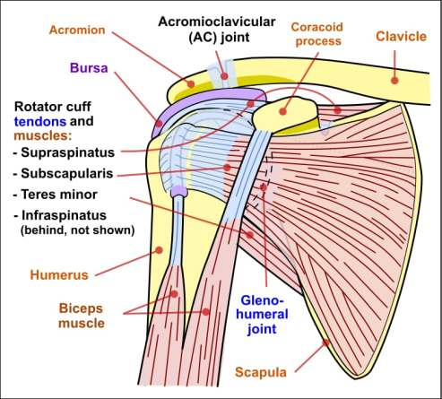 Anatomy of the Shoulder Complex