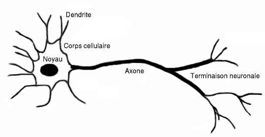 Le Neurone - Biologie du neurone - Physique.unice.fr