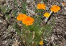 Eschscholzia (Pavot de Californie)