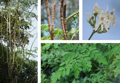 Planche botanique de moringa
