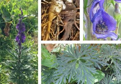 Planche botanique d'aconit