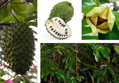 Planche botanique de graviola
