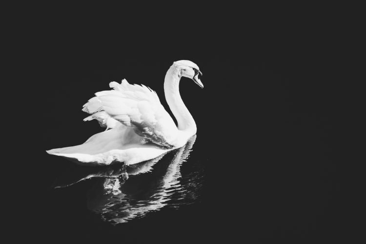 The Simple Beauty of The Swan by Saint-Saens | a pianist's musings