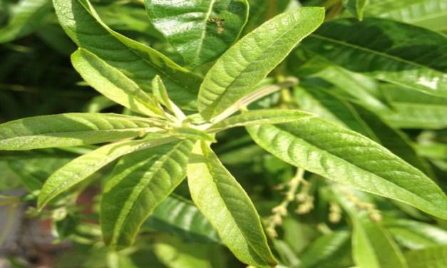 Rosolio alla citronella