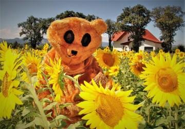 Sonnenblumen Ötscherbär