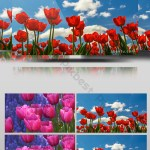 Tulip Flower Field Video Video Mp4 Free Download Pikbest
