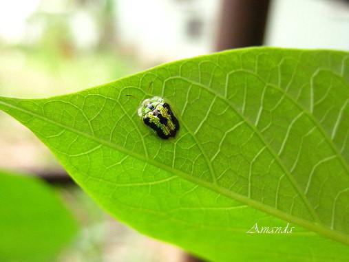 地瓜葉上-甘藷龜金花蟲.jpg