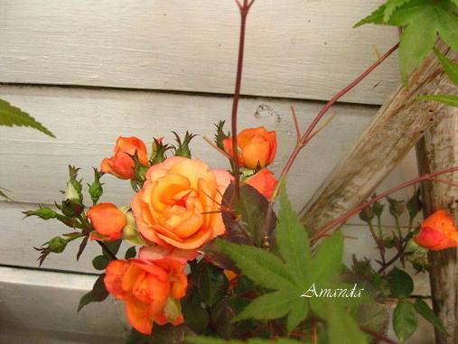 玫瑰花.bmp