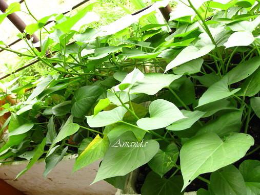 2011-6-11地瓜葉-.jpg