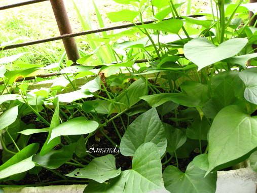 2011-6-11地瓜葉--.jpg