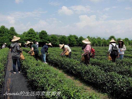 三泰有機農場-採茶