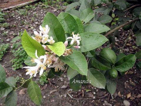 檸檬花 (1)