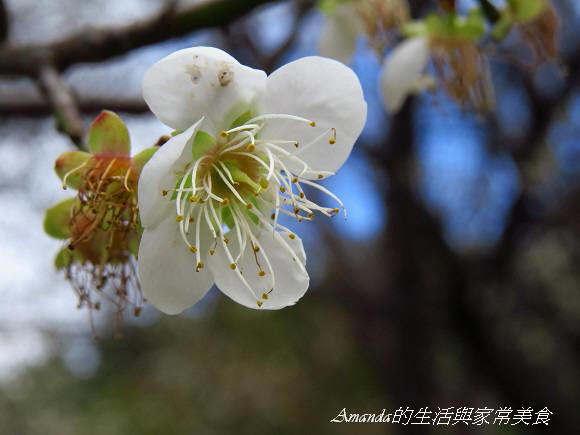 梅花-士林 (5)