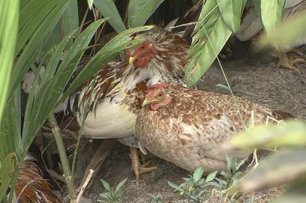 雞2.jpg