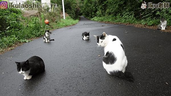 日本東北貓島田代島-貓咪群.png