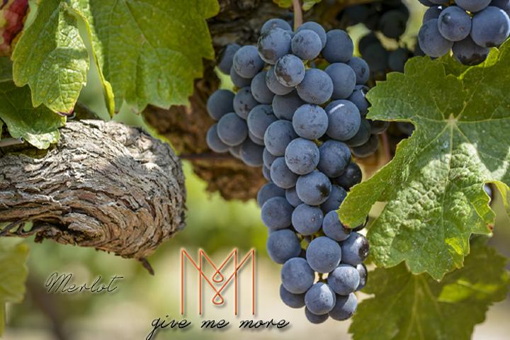 blog size 720x480品酒新手必知的七大葡萄酒品種 Merlot.jpg