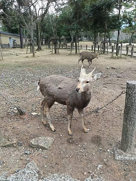 [ 一個人的京阪神 ] Day1-關西機場-奈良-在寒風冬雨中逛東大寺看濕漉漉的小鹿(斑比)
