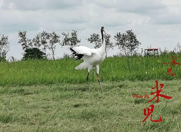 與祥瑞仙鶴的近距離接觸,感受丹頂鶴的友善與美好@江蘇鹽城丹頂鶴濕地生態公園