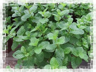 綠薄荷和瑞士薄荷和柳橙薄荷 @ 野蔓園香草 Yamana Garden Herbs :: 痞客邦