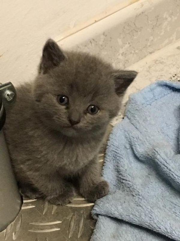 Baby Katze Kätzchen Britisch Kurzhaar In Frankenthal