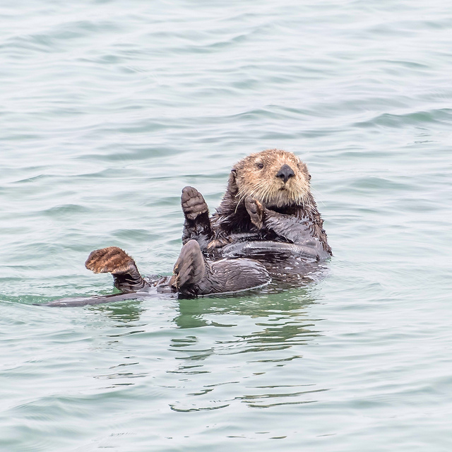 Moss Landing Sea Otters