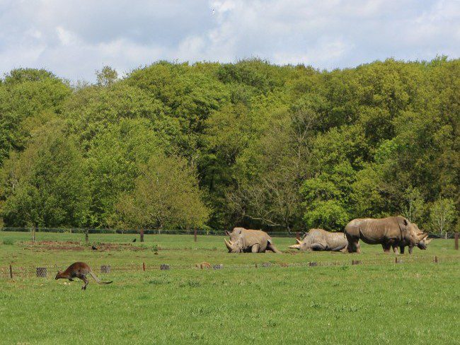 Rhinos at Whipsnade Zoo