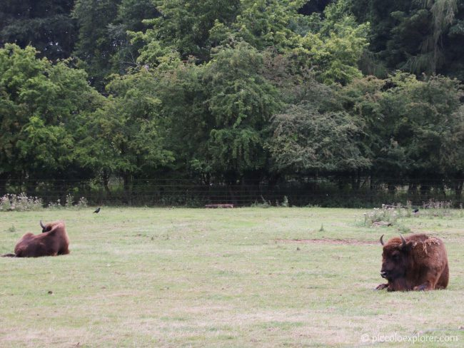 European bison Whipsnade Zoo