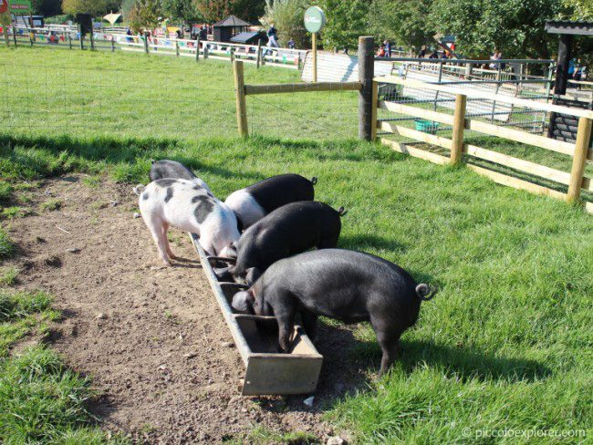 Pigs at Bocketts Farm Park Surrey