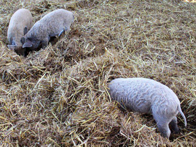 Piglets at Bocketts Farm Park Surrey