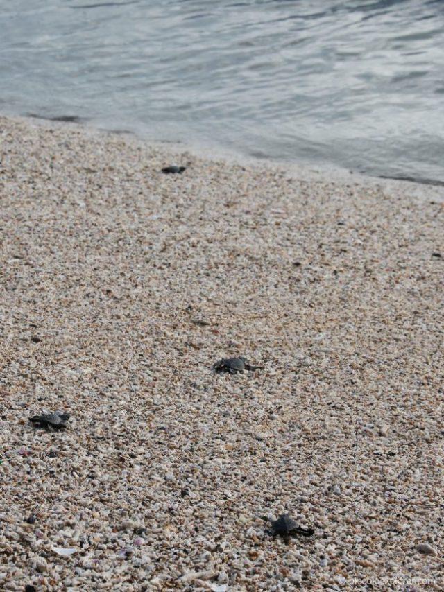 Sea Turtle Release - Kuta Beach Bali
