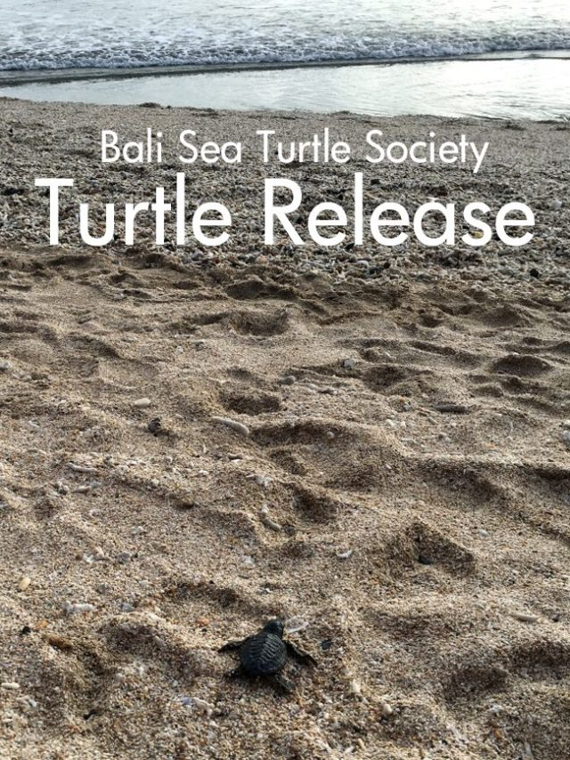 Pin It - Turtle Release with the Bali Sea Turtle Society