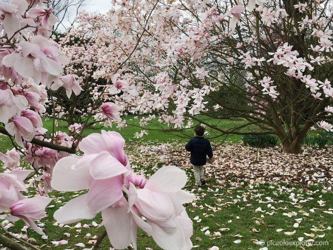Magnolia Trees at Kew Gardens, London