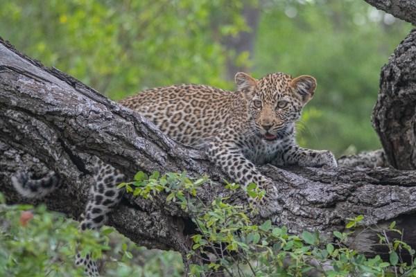 Leopard cub pose