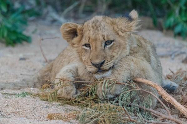 Relaxing cub