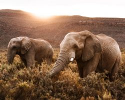 Elephants Catching The Last Light