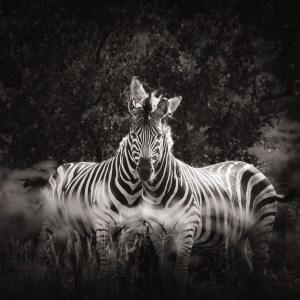 wildlife zebras print