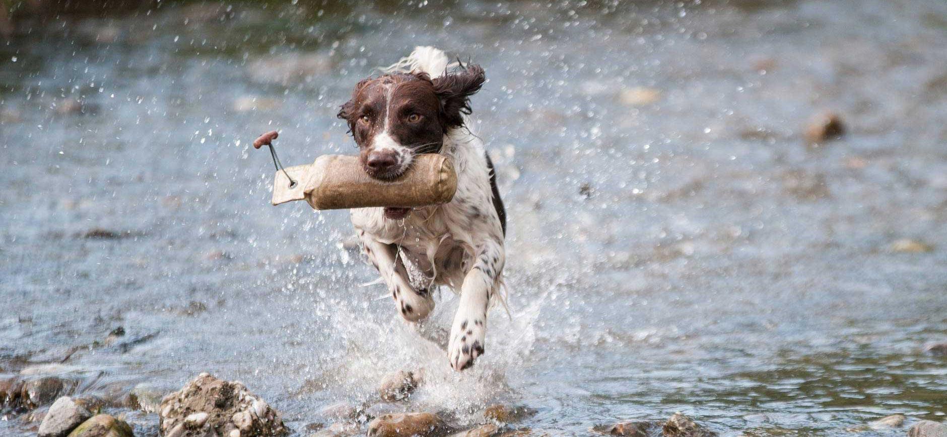 Gundog spaniel retrieving a dummy through water