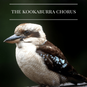 The Kookaburra Chorus