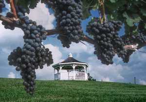 A photograph of the three sisters vineyard, with grape vines hanging in the front of the image, and a gazebo in the background