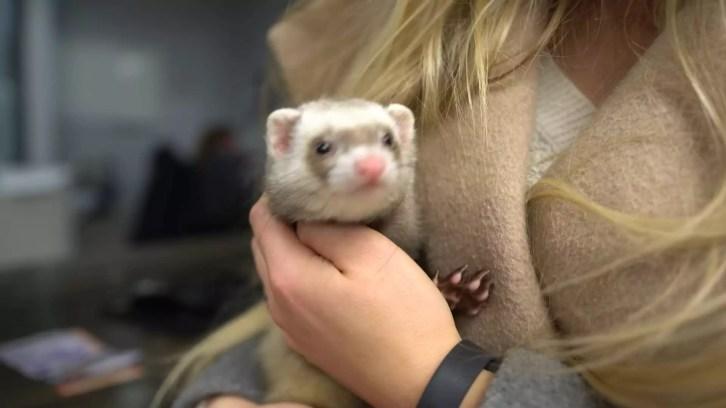 adopt a ferret