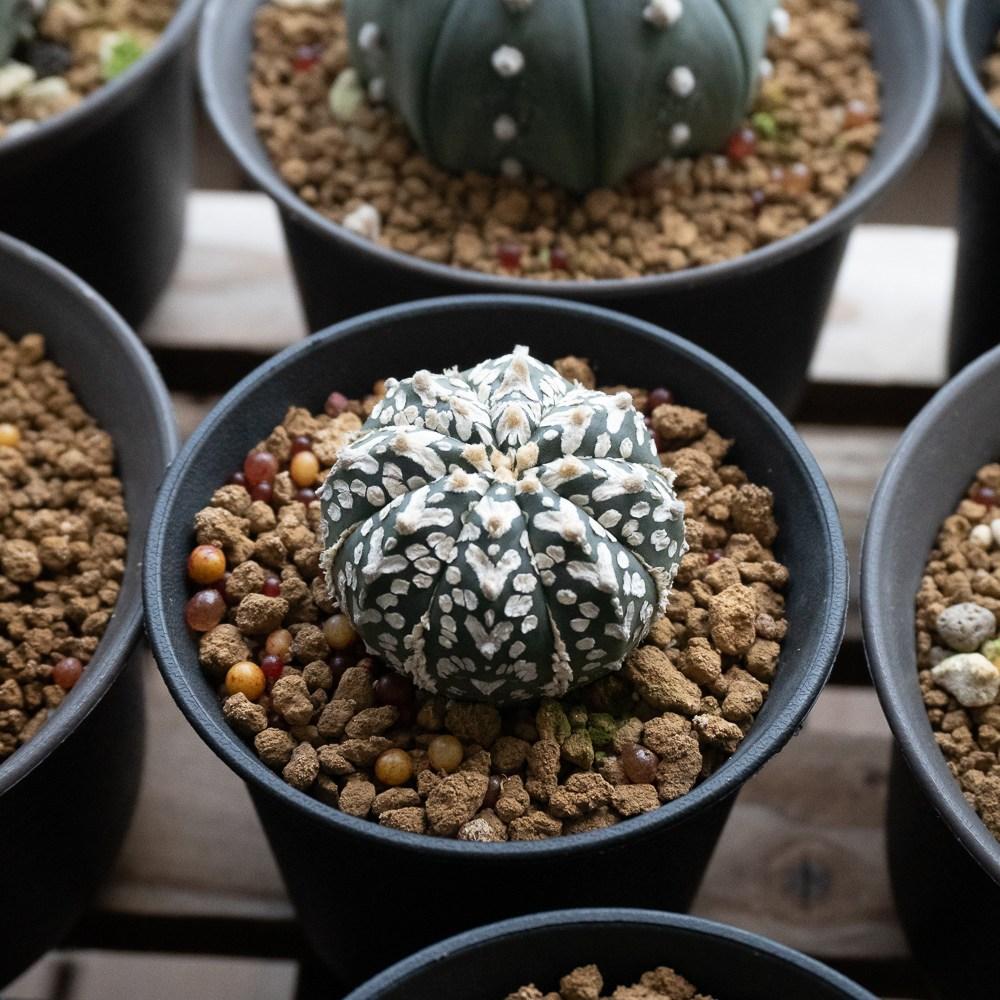 Astrophytum Asterias Super Kabuto V-Type