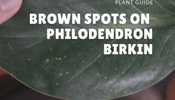 brown spots on philodendron birkin