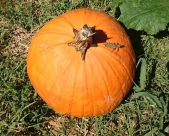 pumpkin-with-grasshopper-2