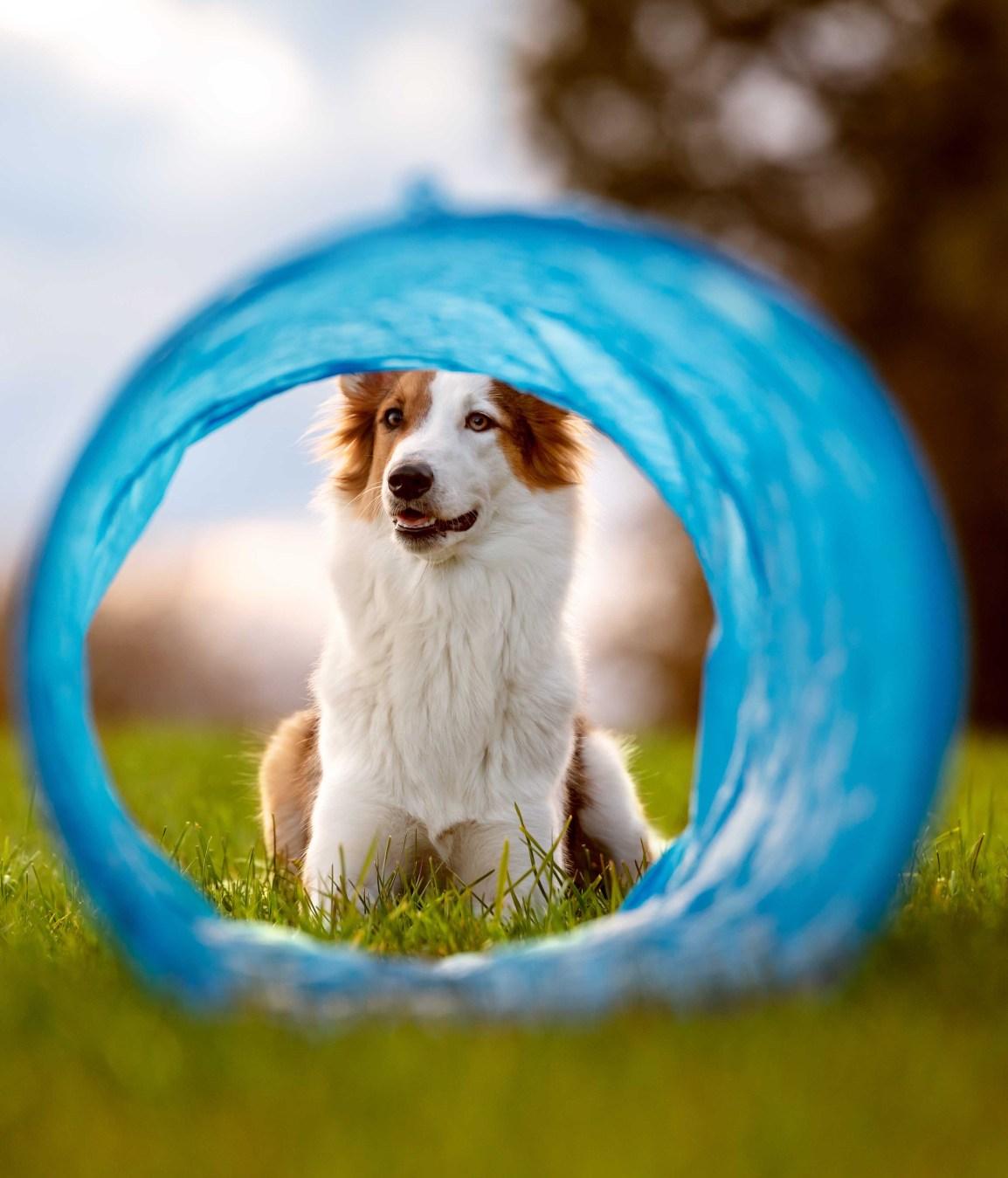 Süßer Hund liegt vor einem Tunnel oder Röhre, Agility und Par